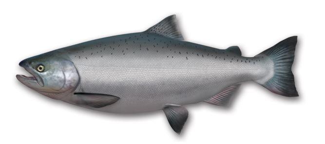 salmon chinook hembra