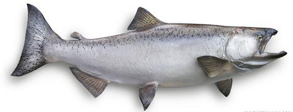 salmon chinook juvenil